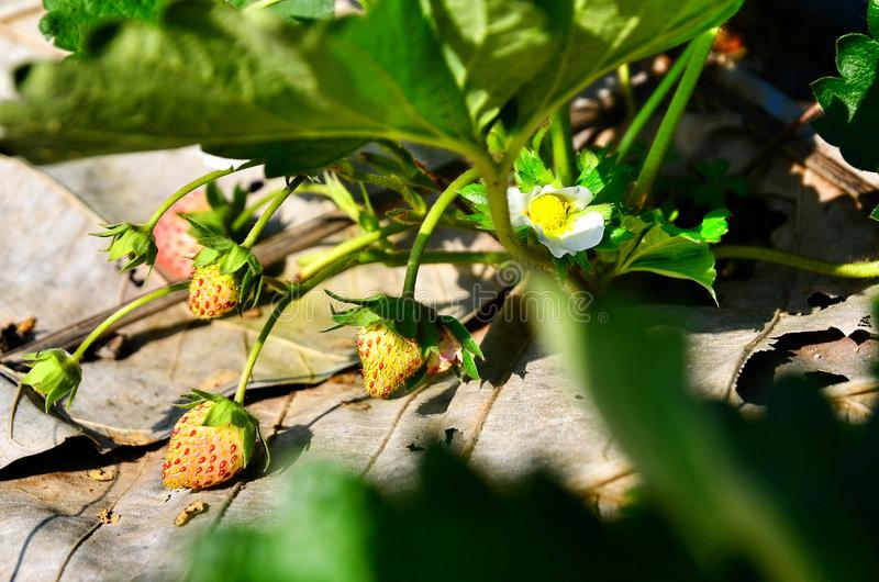 Strawberry in thailand royalty free stock photos