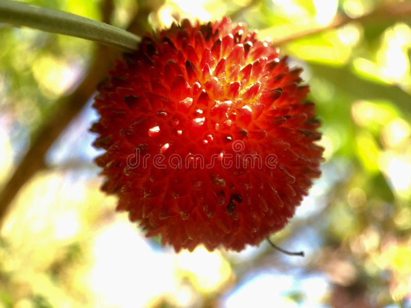 Strawberry tree fruit. Close up from a strawberry tree fruit stock photography