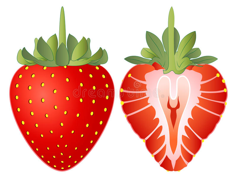 Strawberry Vector Illustration vector illustration