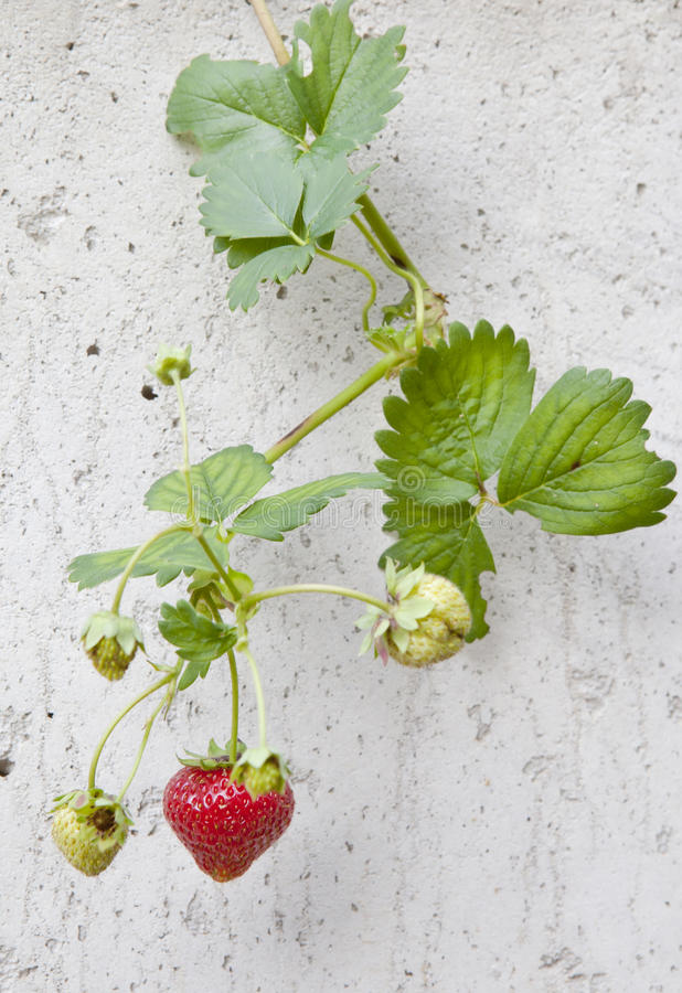 Strawberry On The Wall Stock Photo