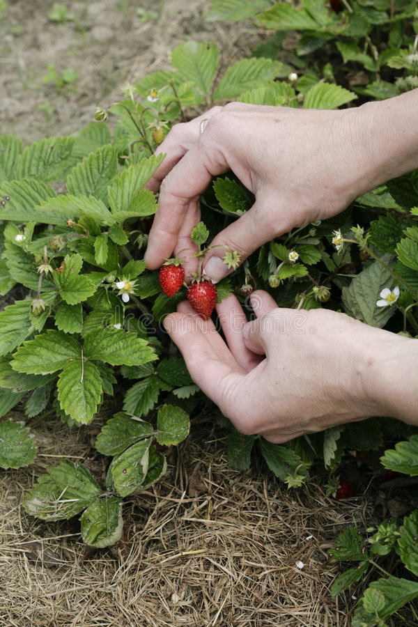 Download Strawberry In Woman's Hands Stock Photo - Image: 5816256