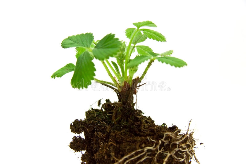 Strawberry,young Plant . Isolated On The White Stock Images