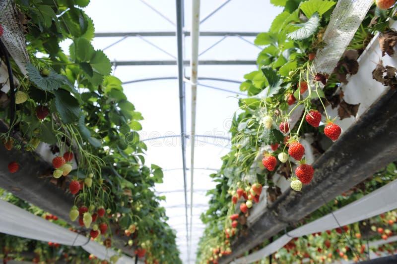 strawberrys 免版税库存图片