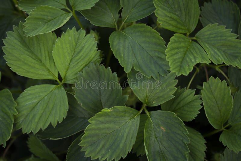 Strawbery выходит взгляд сверху листвы стоковое фото rf