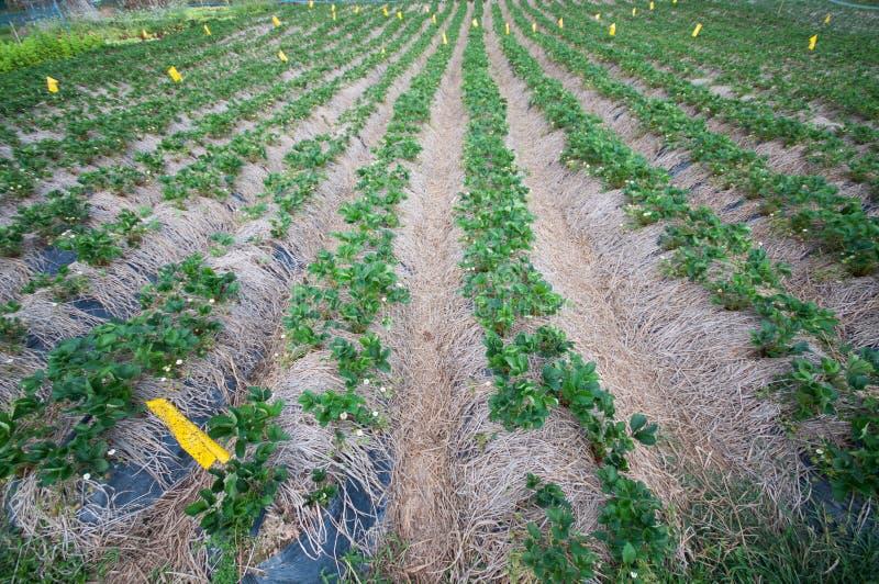 Strawbery field. At Amphoe Bo Kluea ,Nan province , Thailand stock photo