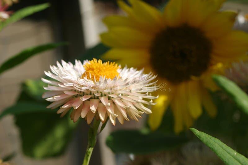 strawflower royalty-vrije stock foto