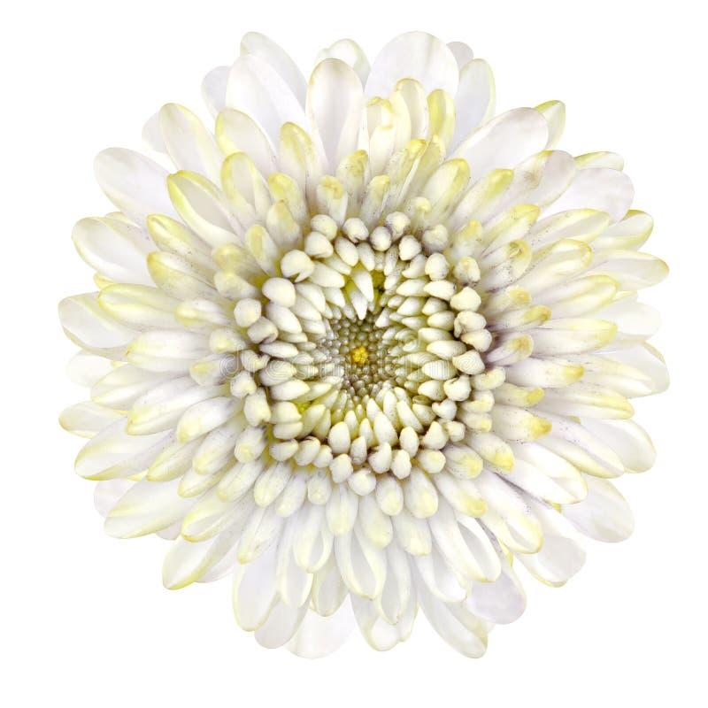 Strawflower branco de florescência isolado no fundo branco fotos de stock royalty free