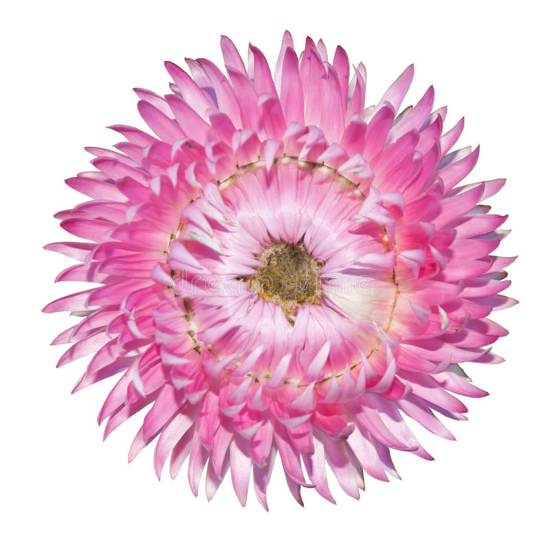Strawflower cor-de-rosa, bracteatum do Helichrysum isolado imagens de stock