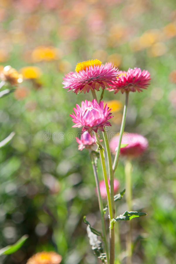 Strawflower Field In Thailand Royalty Free Stock Photography