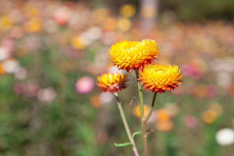 Download Strawflower Field In Thailand Stock Photo - Image: 37086224