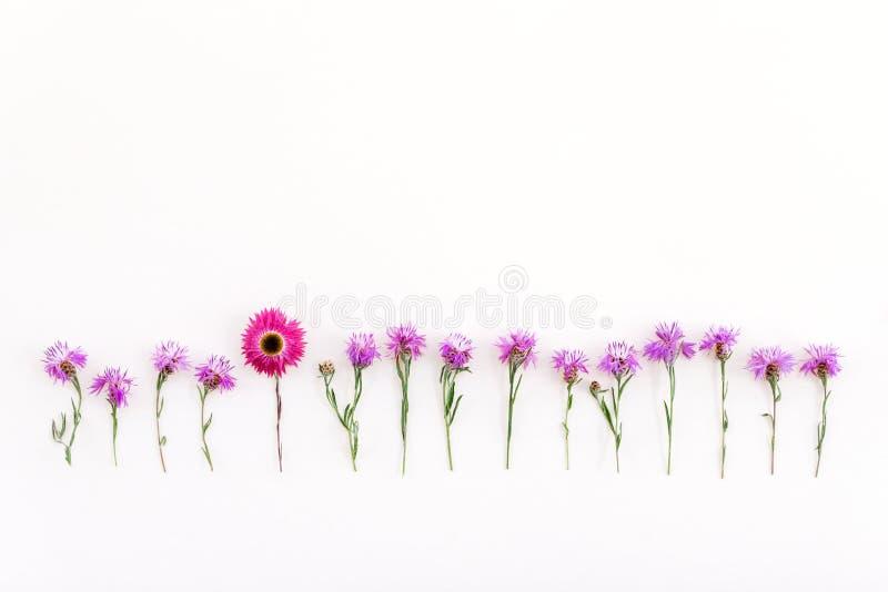 Strawflower rosa in una fila dei fiordalisi porpora immagini stock