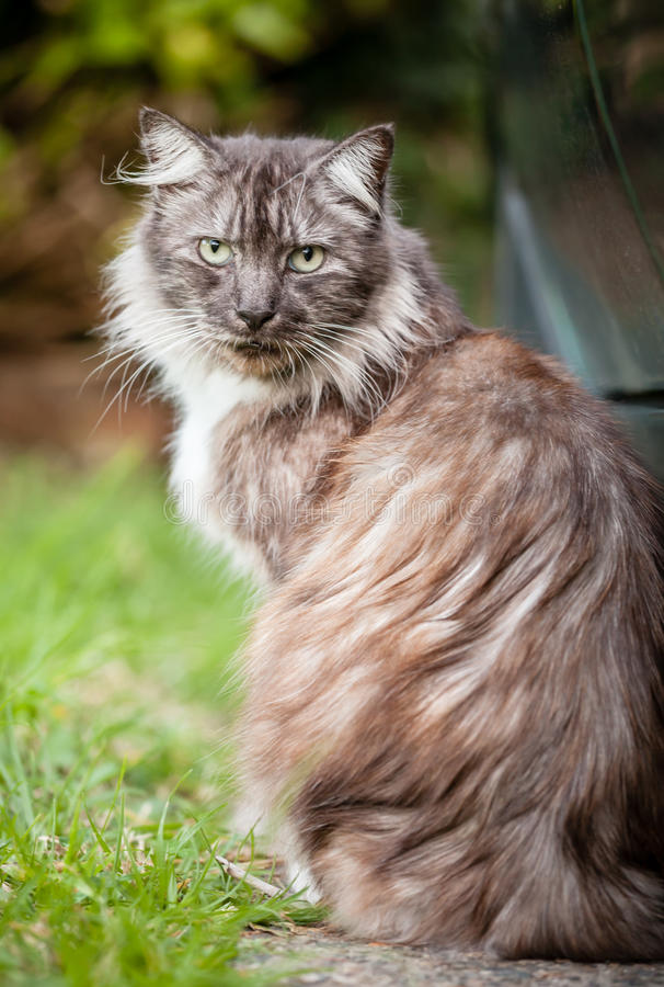 Stray Brown, Ginger and White Long-Haired Cat Sitting. Stray unusually colored long haired cat with brown, grey, black and ginger fur with white undercoat stock photo
