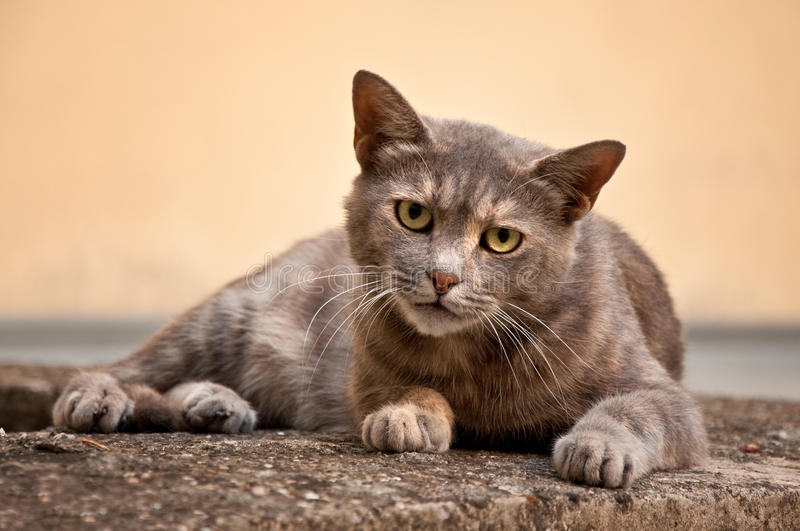 Stray cat. Gray stray cat at the street royalty free stock photos