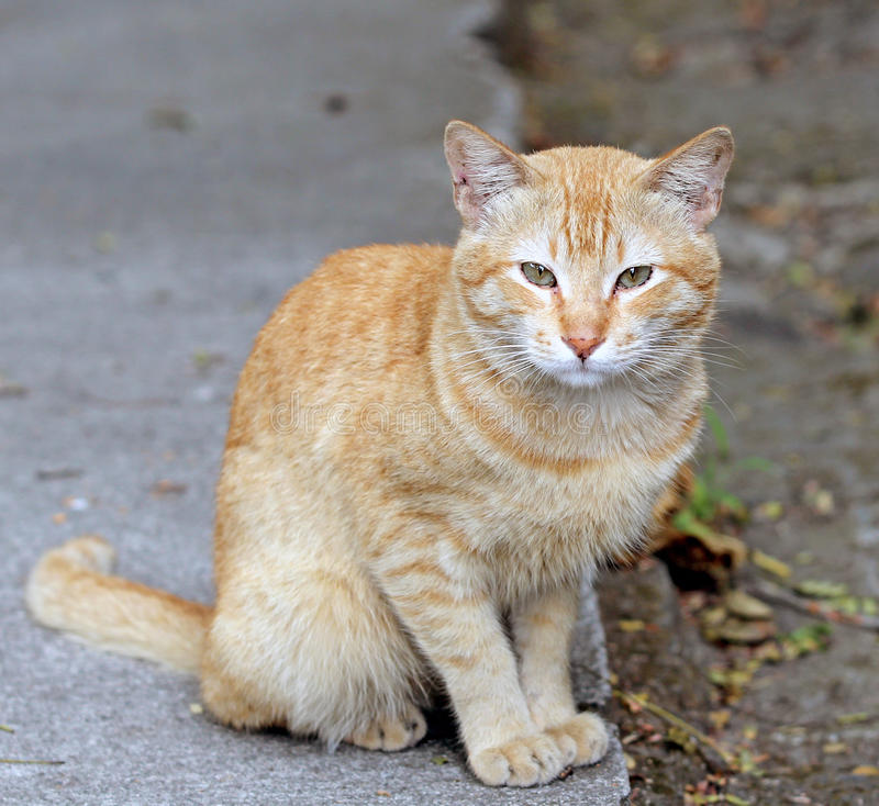 Stray cat. In Manila, Philippines stock image