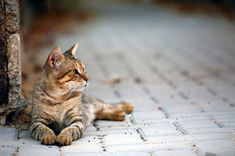 Stray Cat. A beautiful stray cat crouching on the street royalty free stock image