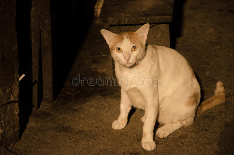 Stray cat in alleyway. A local stray cat in an alleyway of Bangkok, Thailand royalty free stock photo