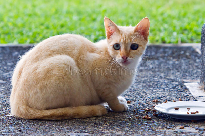 Watchful stray cat. Stray cat guardedly sitting by saucer with food left out royalty free stock photo