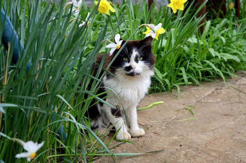 A stray cat. Hides among the grass and flowers of daffodils stock photo