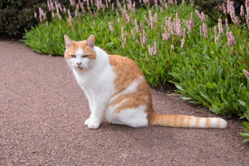 Stray Cat. At Royal Botanic Garden Edinburgh stock photos