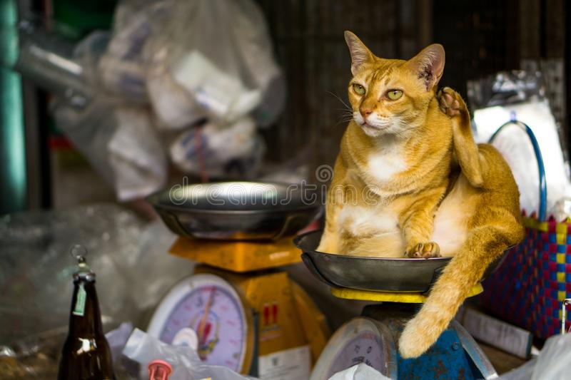 Stray cat sit on scales in Thailand royalty free stock photos
