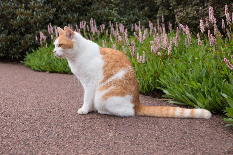 Stray Cat. At Royal Botanic Garden Edinburgh royalty free stock image