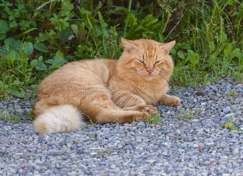 Stray cat at the street. Stray red cat resting at the street. Selective focus stock images