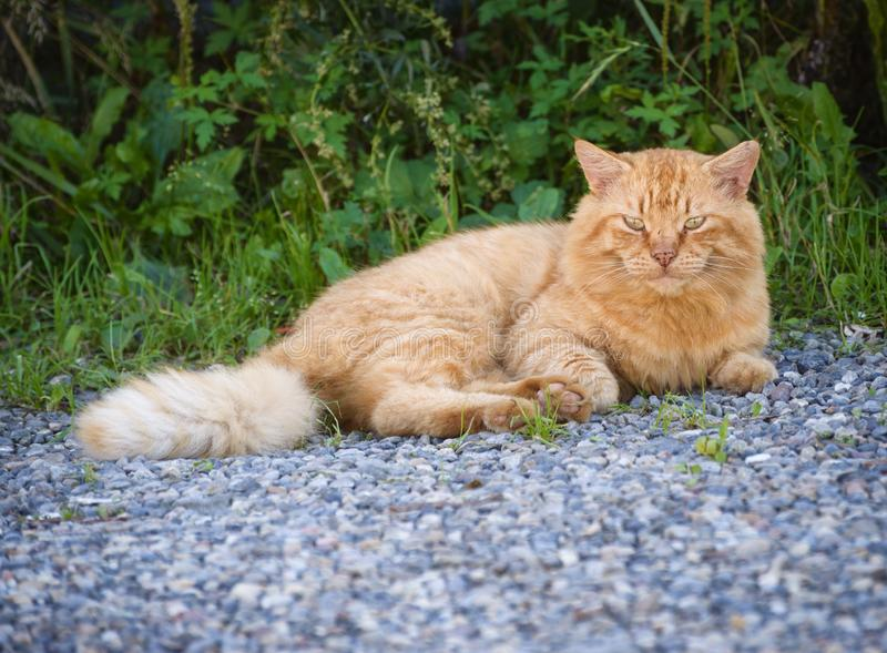 Stray cat at the street. Stray red cat resting at the street. Selective focus royalty free stock images