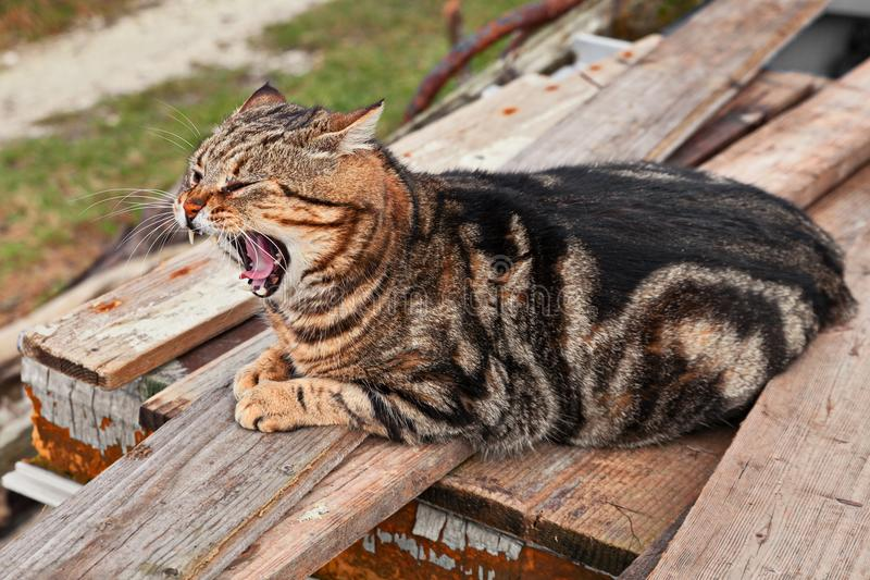 Stray cat yawning while resting outdoors. On wooden planks royalty free stock photo