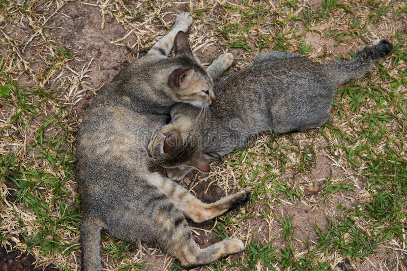 Stray cats play on green grass. Homeless cat family on summer lawn. Brown cat siblings grooming. Kittens on grass. Summer outdoor kitty playground. Homeless royalty free stock image