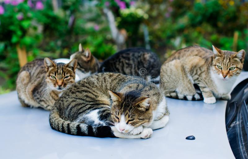 Stray cats sleeping on the car royalty free stock image