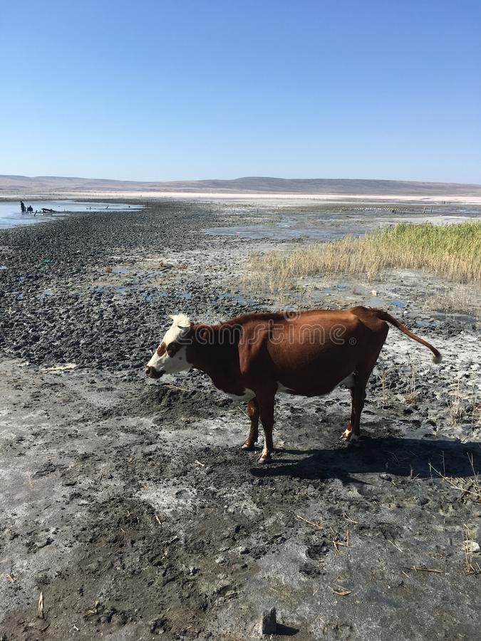 Stray cow standing at mud salt lake near Azov sea in Crimea in sunny day royalty free stock photo