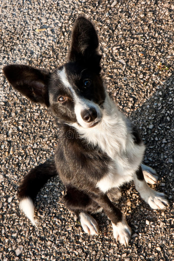 Download Stray Dog Royalty Free Stock Image - Image: 11279596