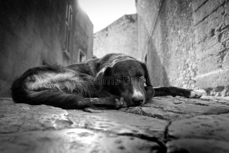 Download Stray dog stock photo. Image of stray, erice, sicily - 16325168