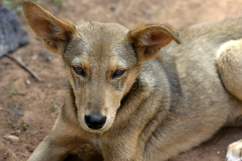 Download Stray Dog stock photo. Image of nose, animal, ears, brown - 57792