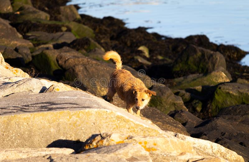 Stray Dog Along the Rocky Shore. A calm light brown stray dog stands on a rocky shore near the river royalty free stock images