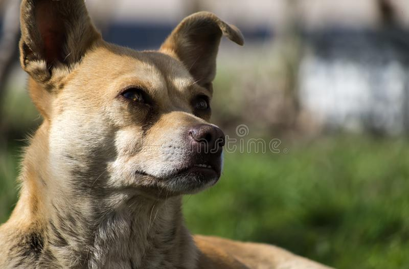 Stray dog of caramel color and with wrong bite raised his ears and looked at the upper floors of the house stock photos