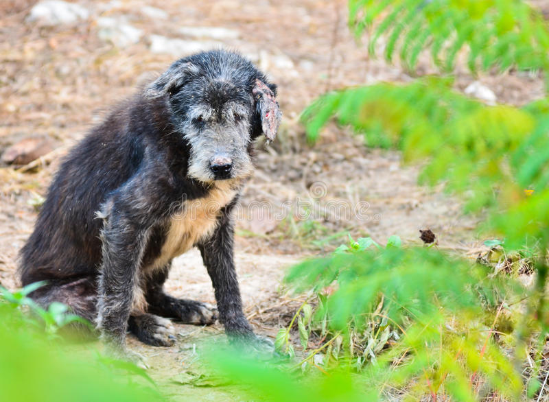 Stray dog. With dirty fur and a bent ear in Thailand stock image