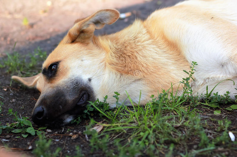 Stray dog feeling unwell and lying on the grass royalty free stock images