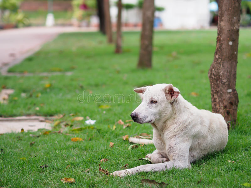 Stray dog have scars lying on green grass with blurred background royalty free stock photography
