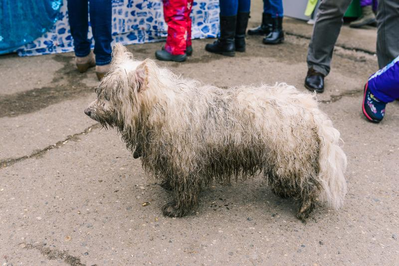 A stray dog is looking for its owners. Lost dog. Wet, dirty wool. Animal outside. A stray dog is looking for its owners. Lost dog. Wet, dirty wool royalty free stock photo