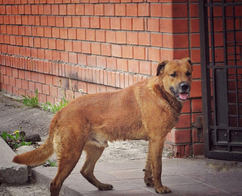 Stray dog op straat royalty-vrije stock afbeeldingen