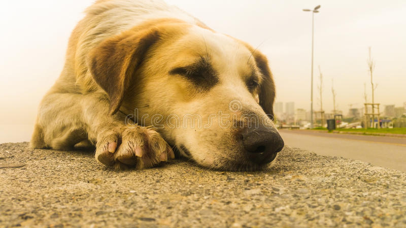 Stray dog sleaping on the pavement. Stray dog resting on the pavement stock images