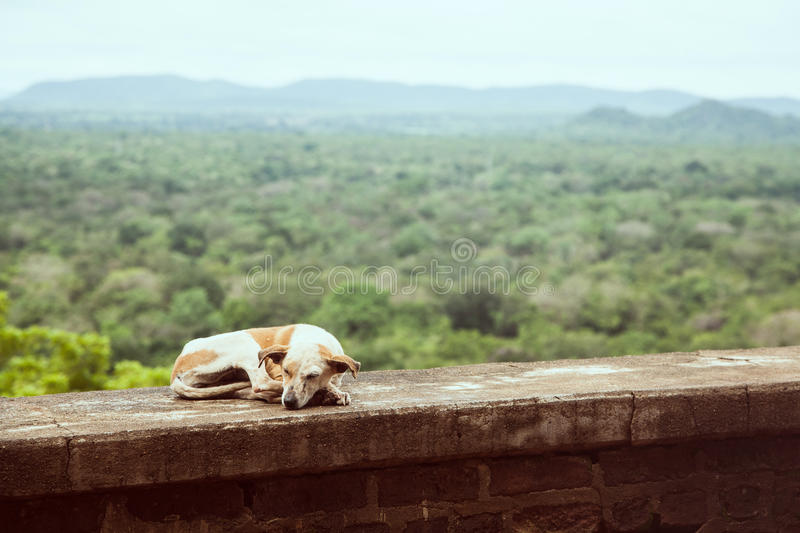 Stray dog sleeping against tropical forest scenery in Sri Lanka royalty free stock image