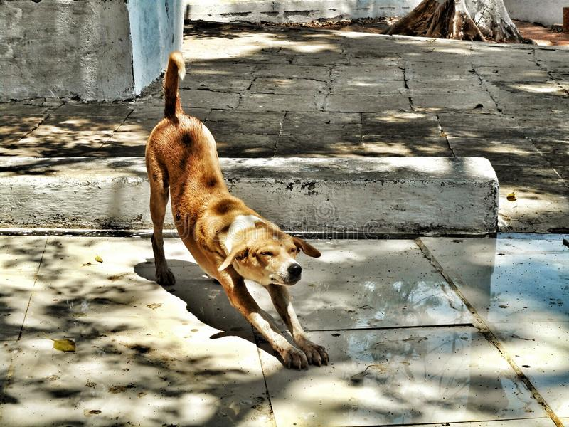 Stray dog stretching his body stock image