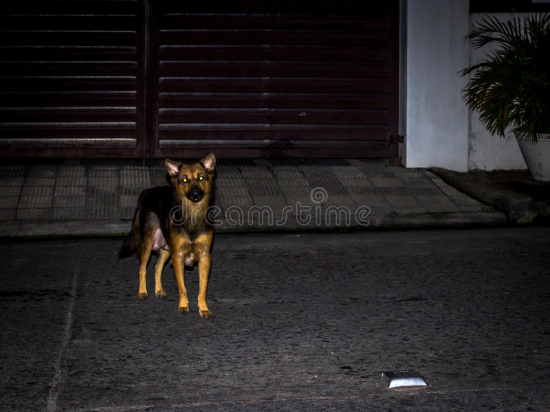 Stray Dog. A stray dog is about to attack stock photo