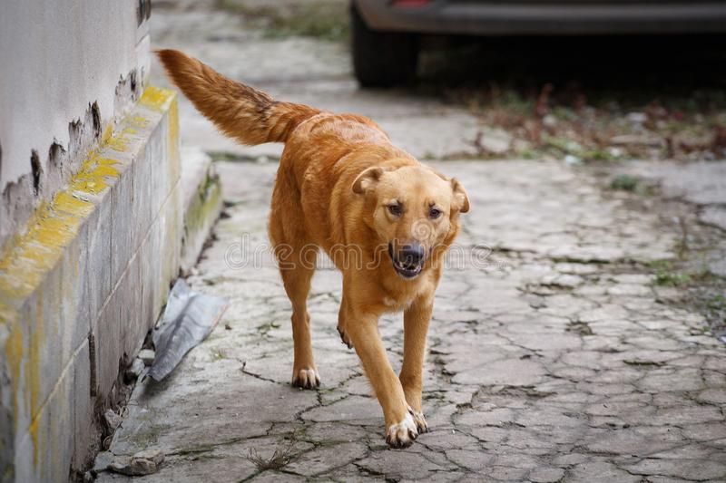 A stray dog walking along the street in the village. Homeless dog outdor. stock photos