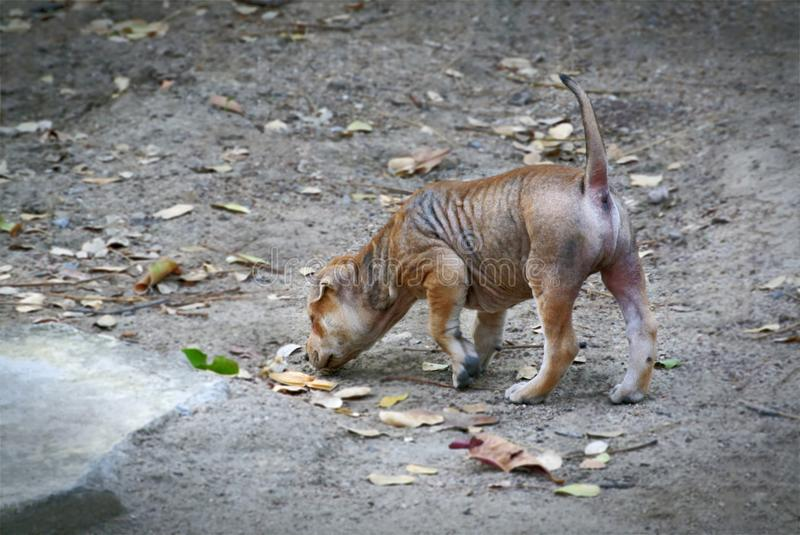 Stray dog walking and searching for some foods on the ground royalty free stock images