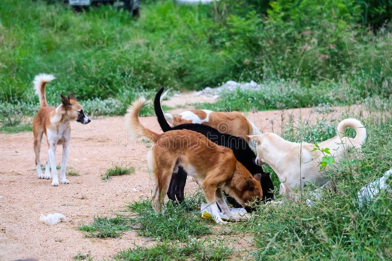 Stray dogs eat junk food and one dog can& x27;t because it is afraid of being bitten. Stray dogs eat junk food in abandon land and one dog can& x27;t because it royalty free stock image