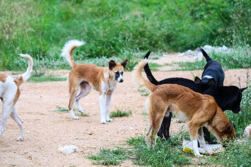 Stray dogs eat junk food and one dog can& x27;t because it is afraid of being bitten. Stray dogs eat junk food in abandon land and one dog can& x27;t because it stock image