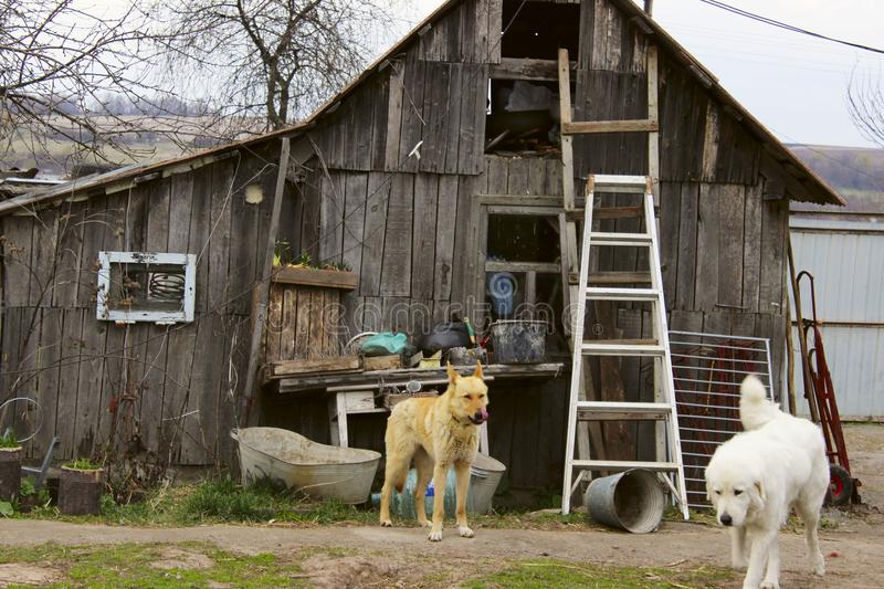 Old Wooden House And Two Stray Dogs. Stray dogs in front yard. Old Wooden House And Two Stray Dogs royalty free stock photos